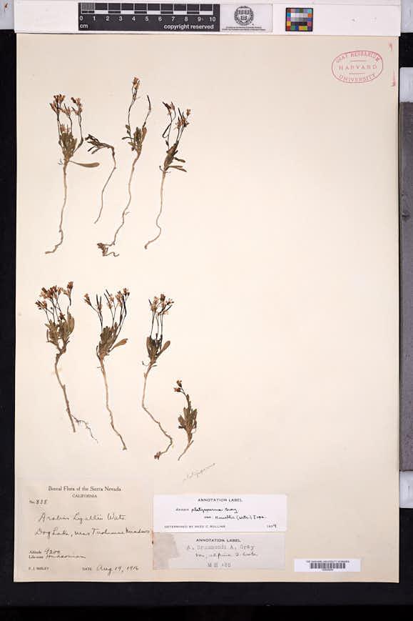 Boechera howellii image