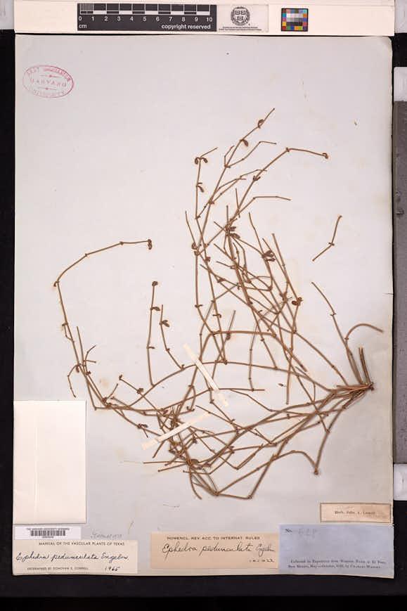 Ephedra pedunculata image