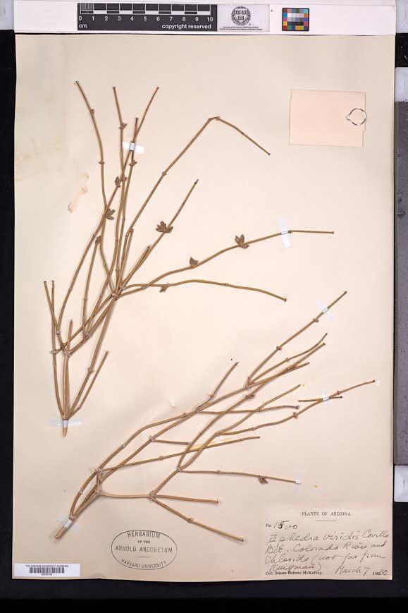Ephedra viridis image