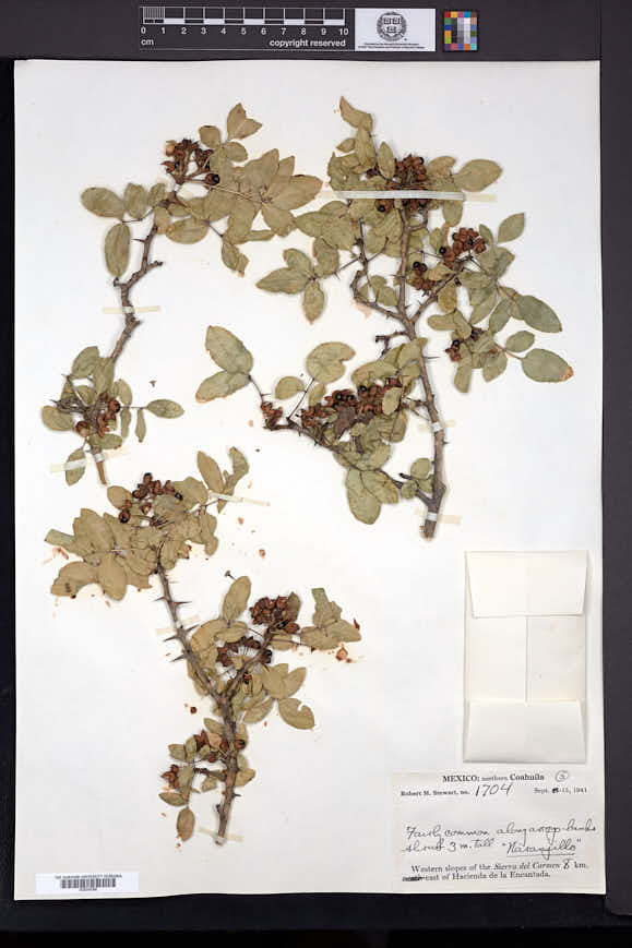 Image of Zanthoxylum arborescens