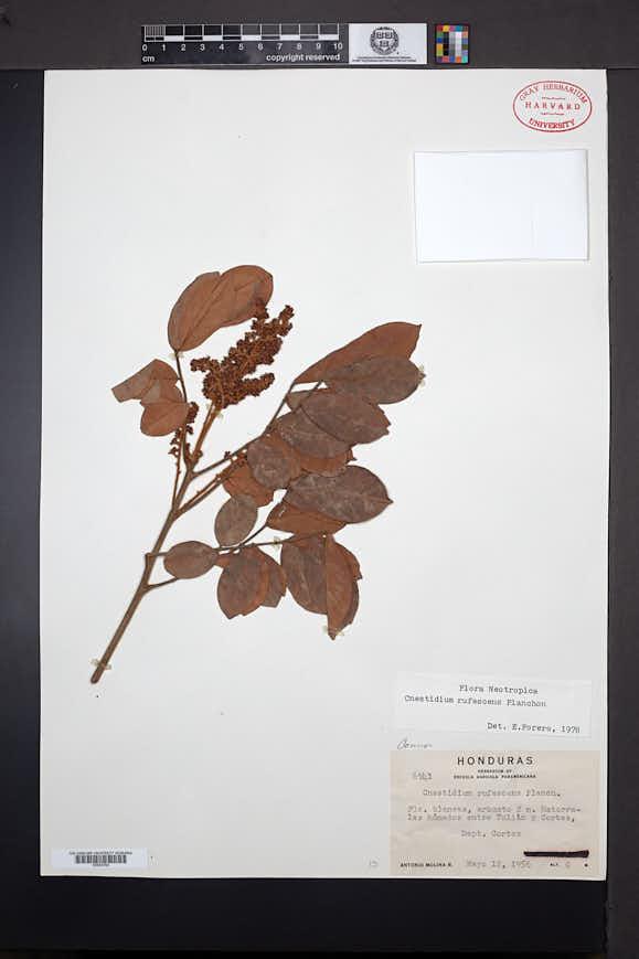 Cnestidium rufescens image
