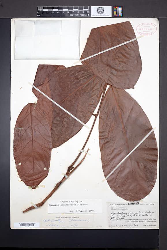 Connarus grandifolius image