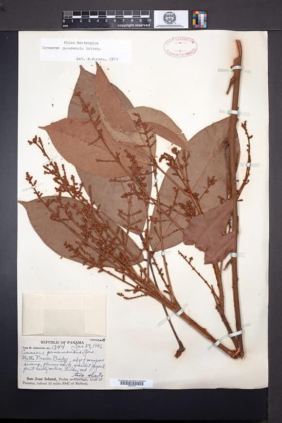 Connarus panamensis image