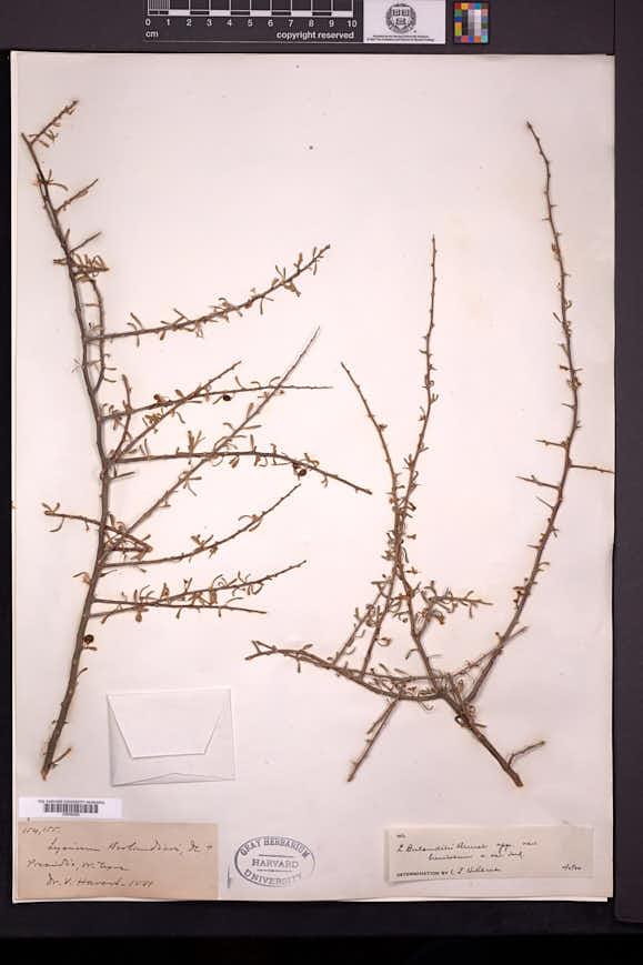 Lycium berlandieri image