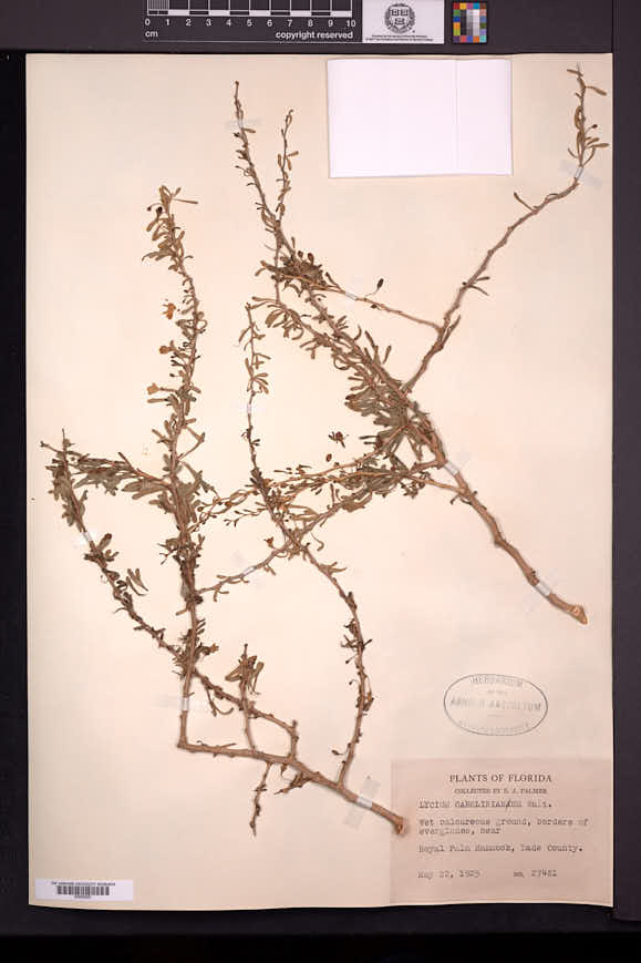 Lycium carolinianum image