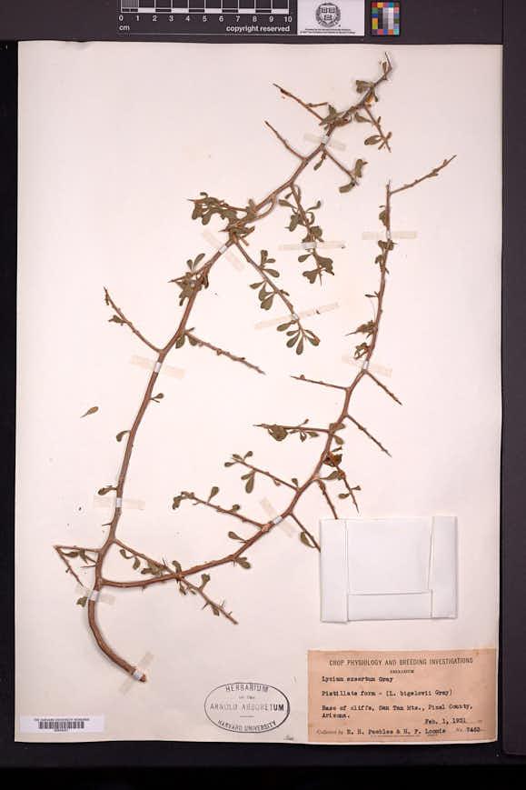 Lycium exsertum image