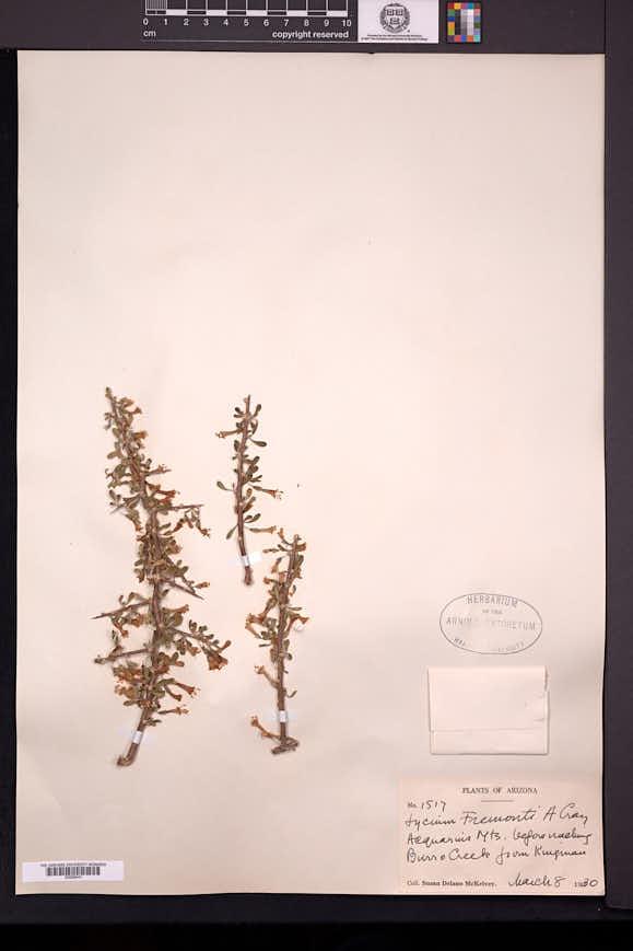 Lycium fremontii image