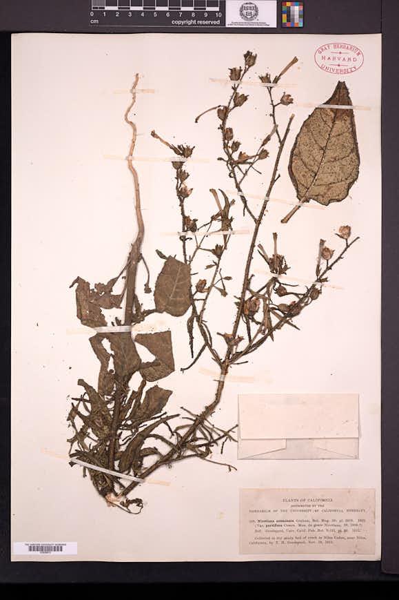Nicotiana acuminata image
