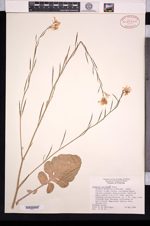 Image of Brassica carinata