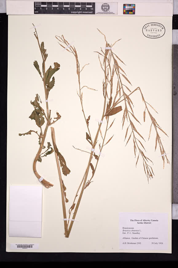 Image of Brassica chinensis