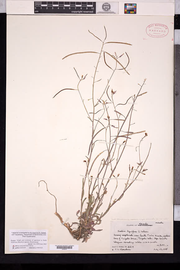 Boechera lignifera image