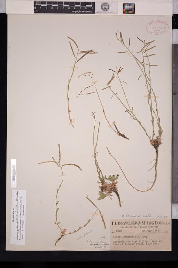 Image of Boechera paddoensis