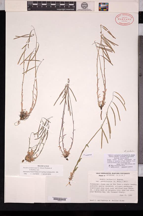 Boechera pendulocarpa image