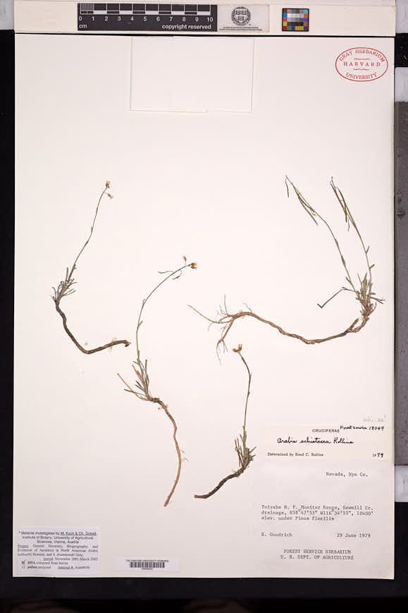 Image of Boechera schistacea