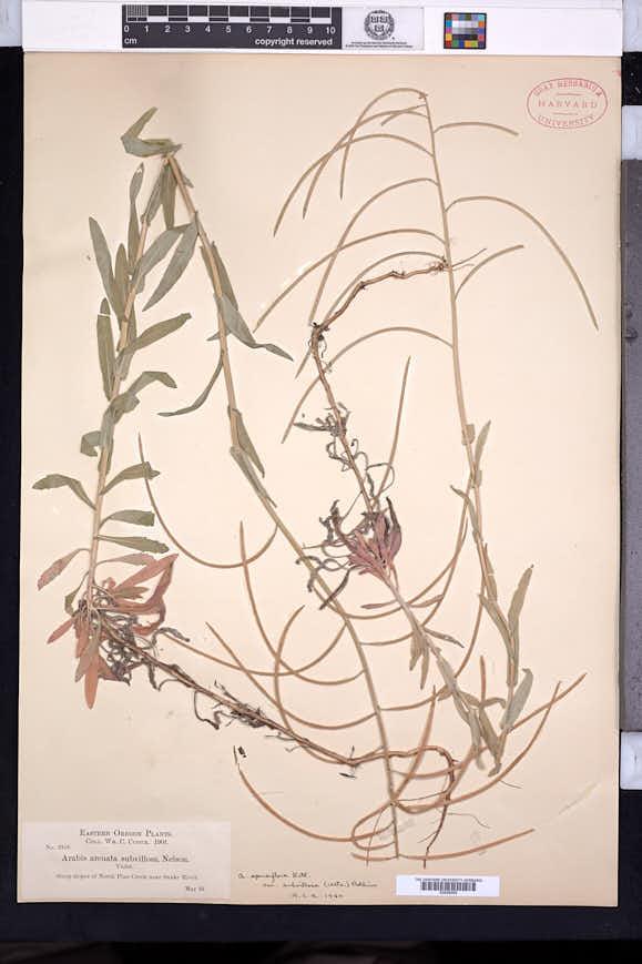 Arabis sparsiflora image