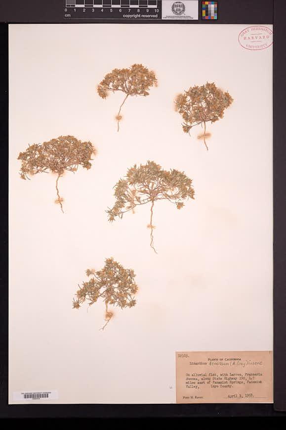 Linanthus demissus image