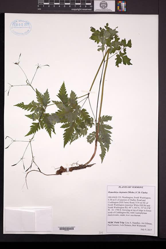 Osmorhiza claytonii image