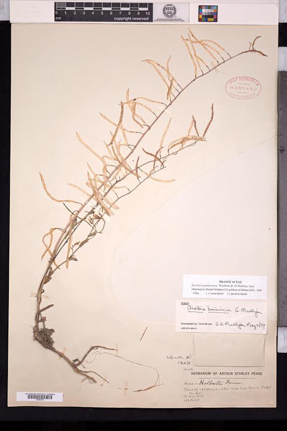 Image of Boechera quebecensis