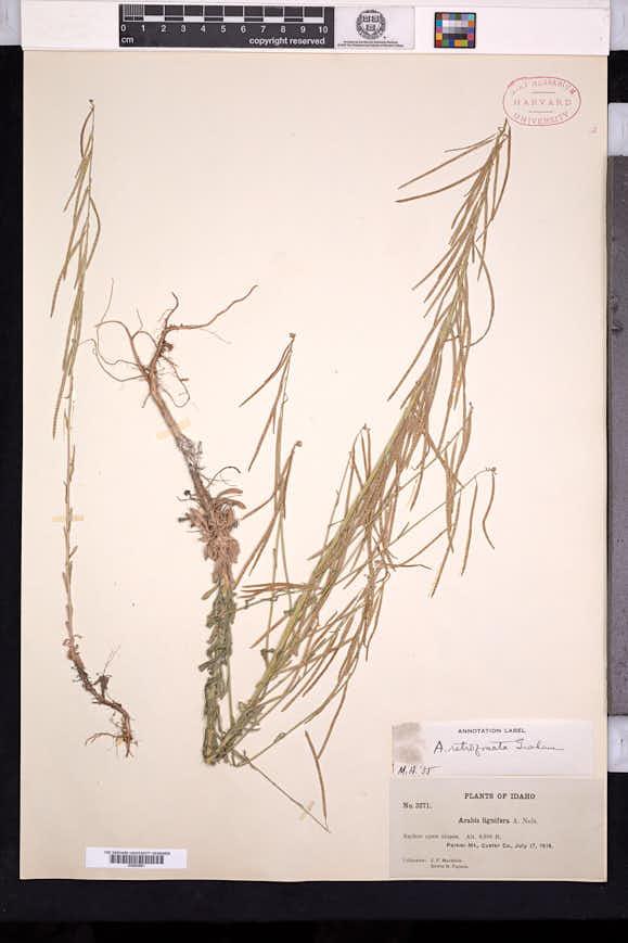 Boechera retrofracta image