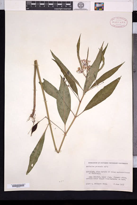 Asclepias perennis image