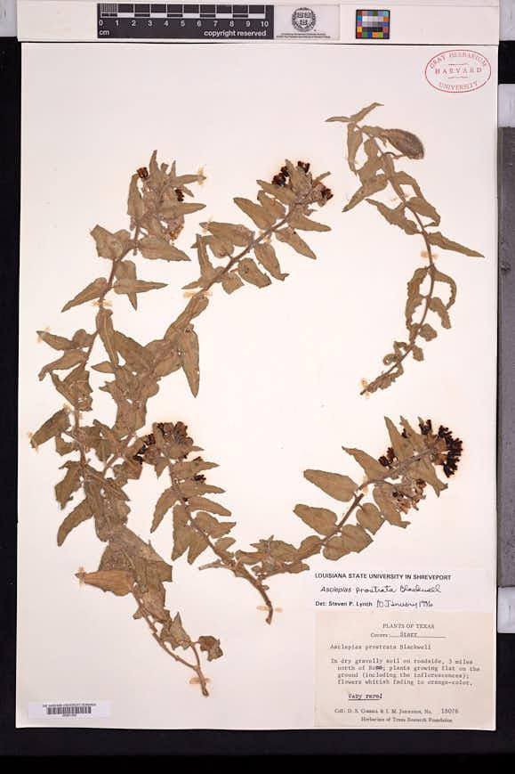 Image of Asclepias prostrata