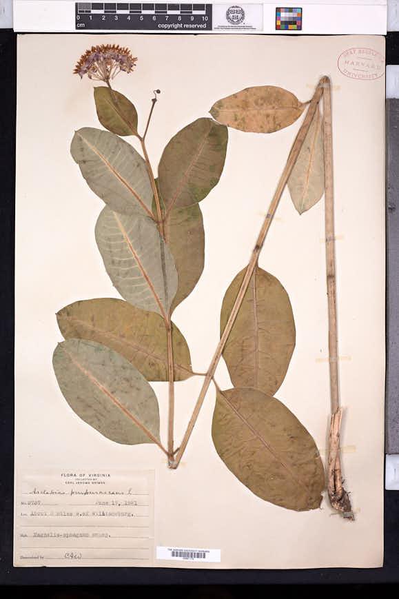 Asclepias purpurascens image