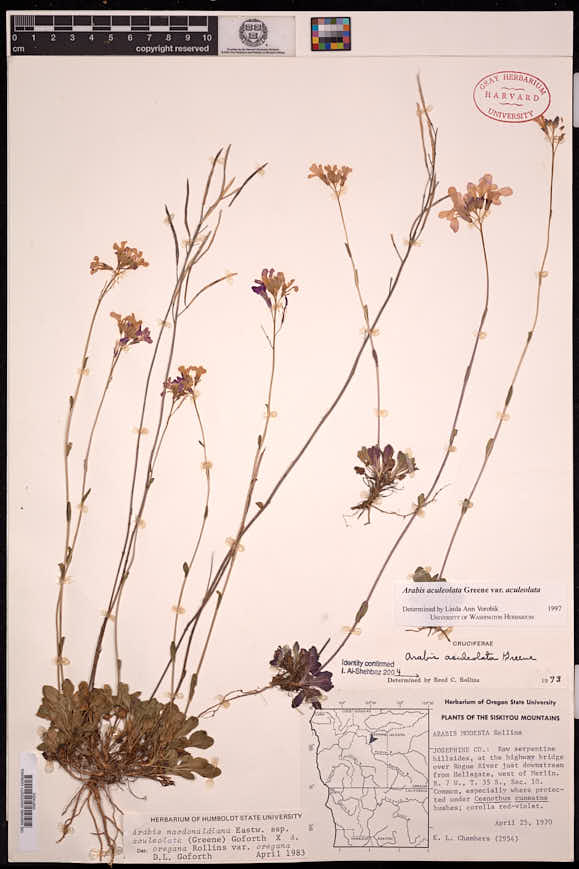 Arabis aculeolata image