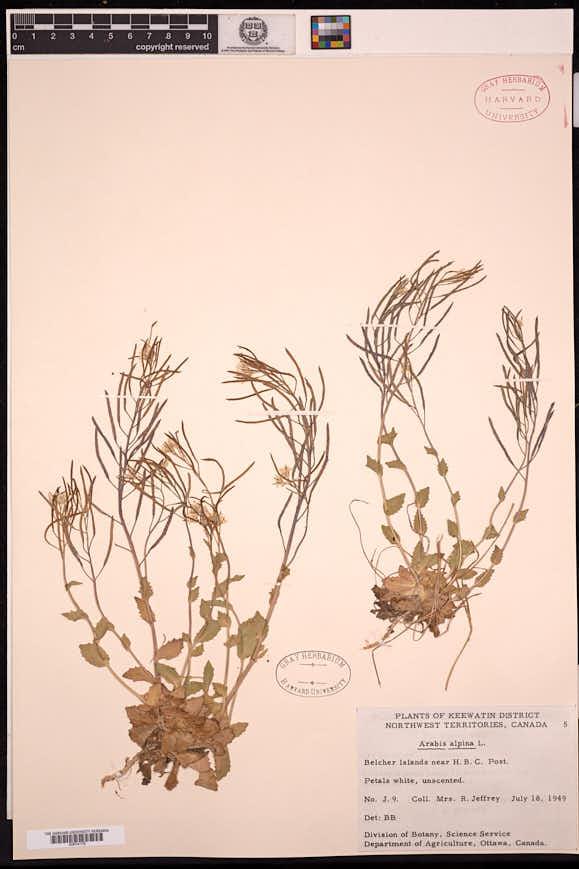 Arabis alpina image