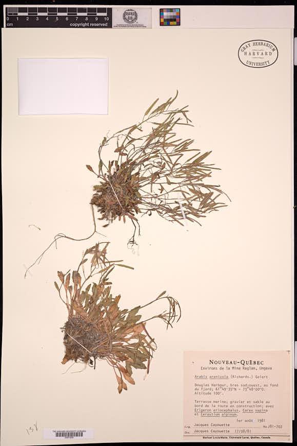 Image of Arabis arenicola