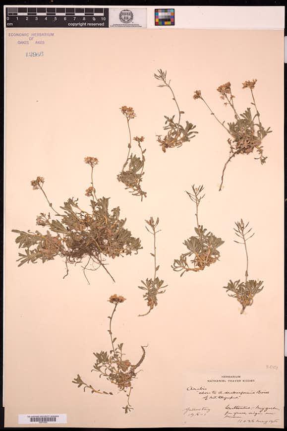 Image of Weberbauera colchaguensis