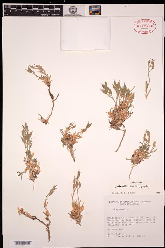 Aubrieta deltoidea image