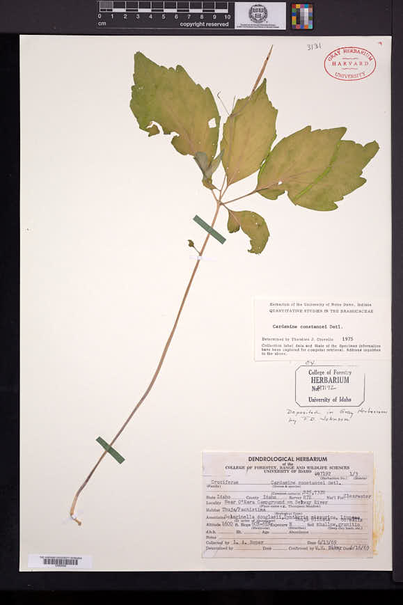 Image of Cardamine constancei