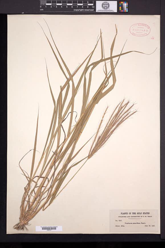 Trichloris pluriflora image