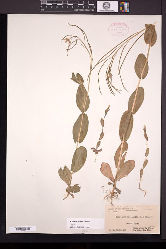 Conringia orientalis image