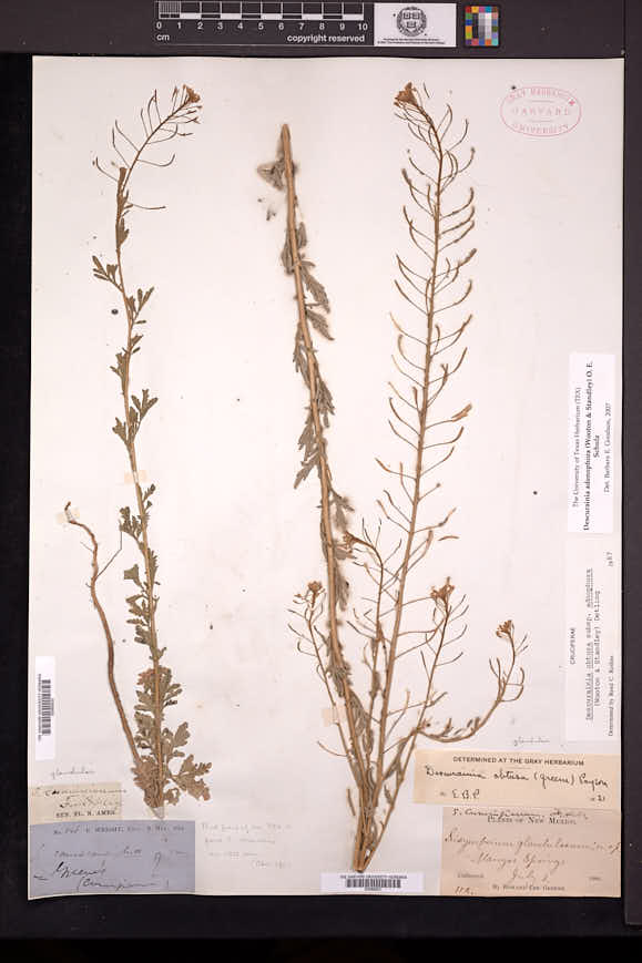 Descurainia adenophora image