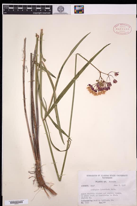 Asclepias lanceolata image