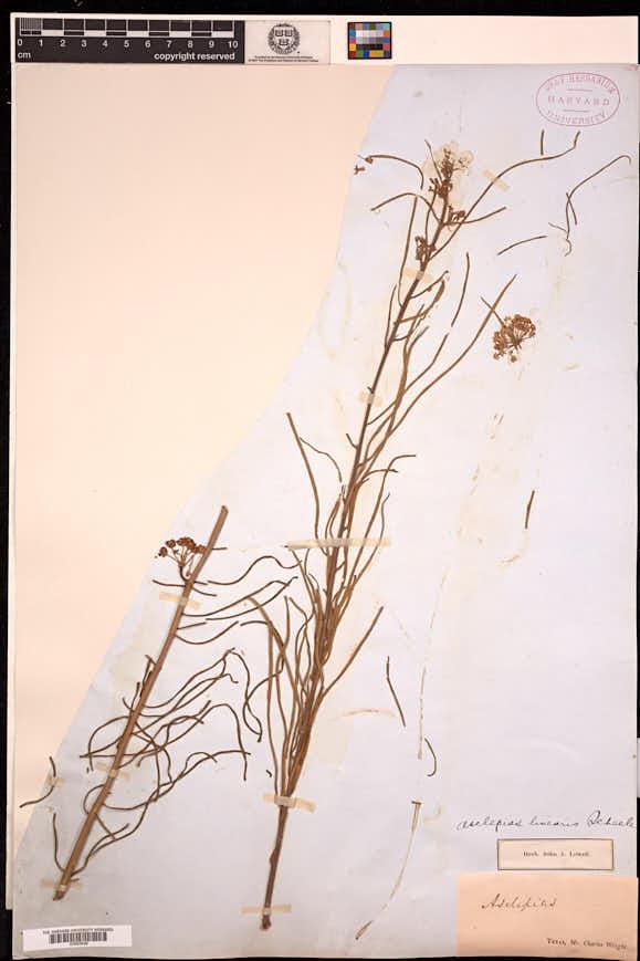 Asclepias linearis image