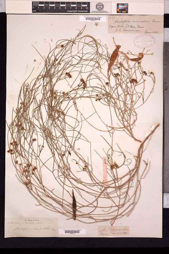 Asclepias macrotis image