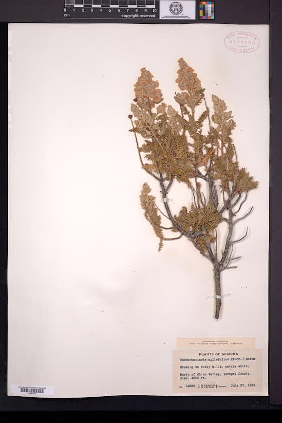 Chamaebatiaria millefolium image