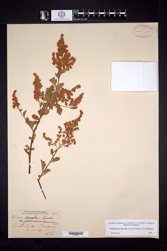 Holodiscus discolor image