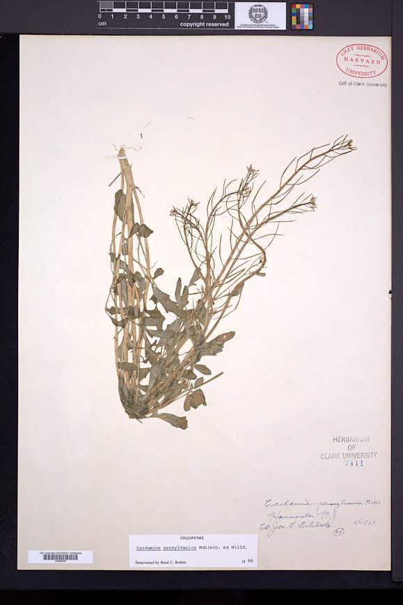 Cardamine pensylvanica image