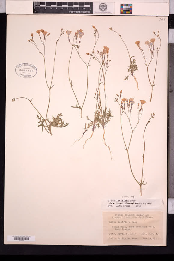Gilia cana image