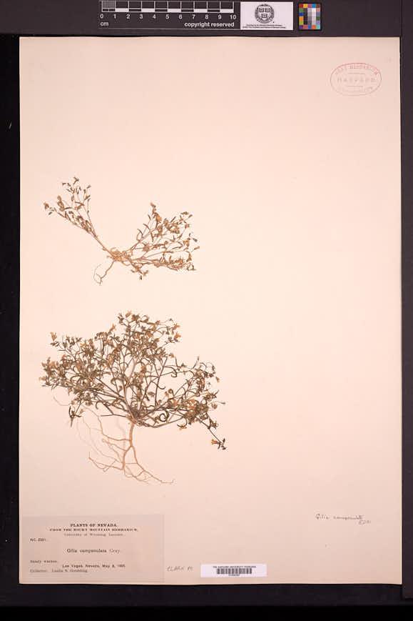 Gilia campanulata image