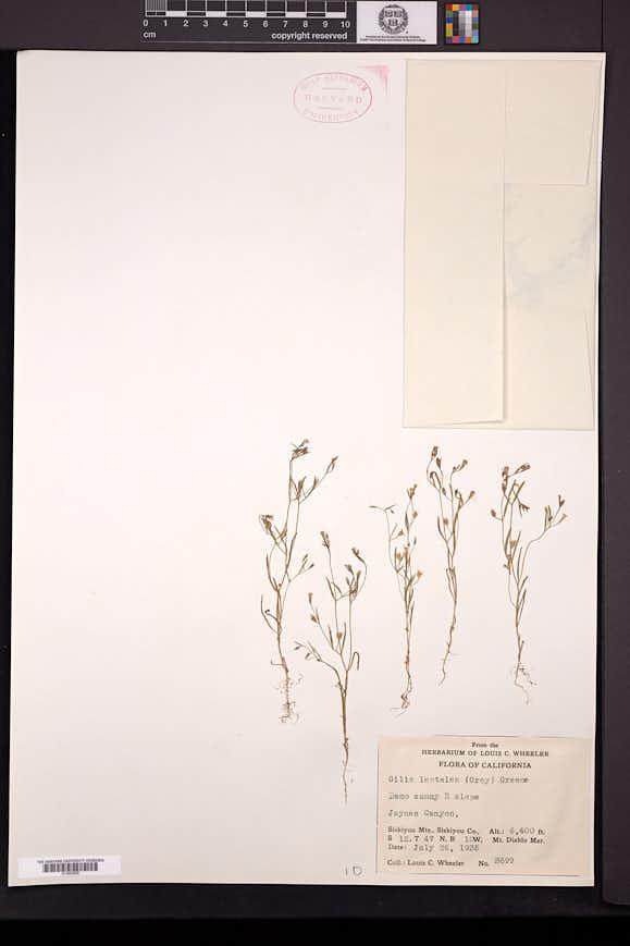 Navarretia leptalea image
