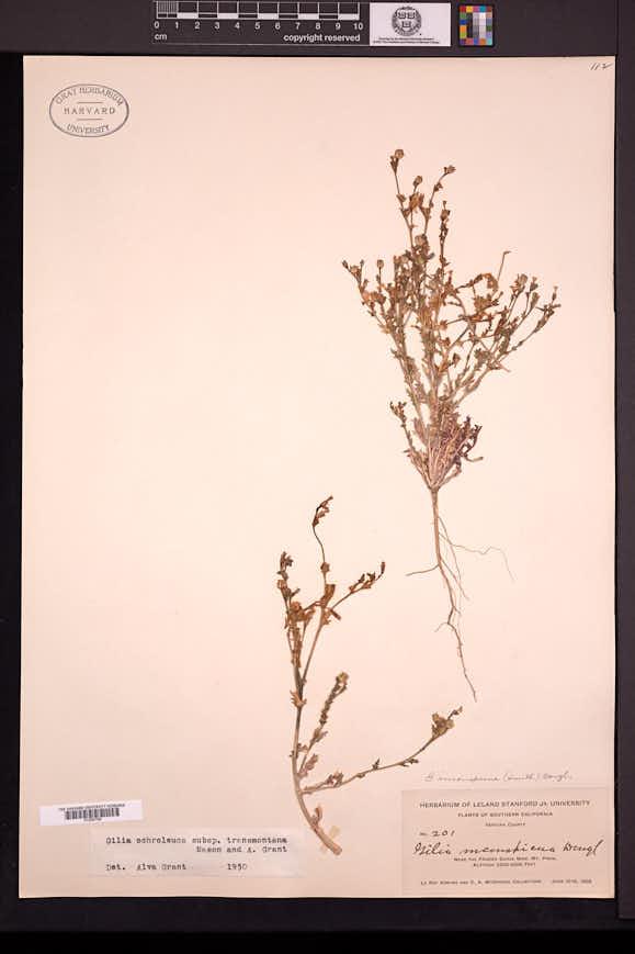 Gilia transmontana image