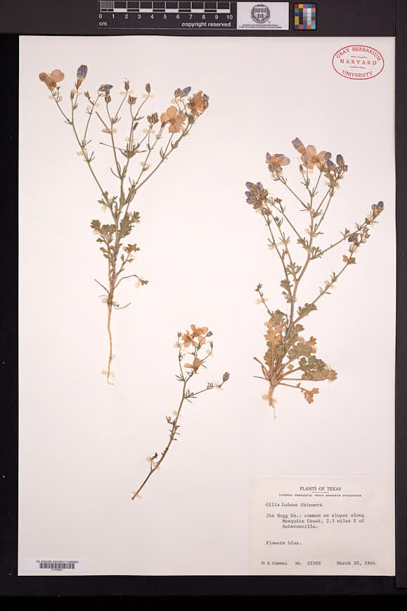 Image of Giliastrum ludens