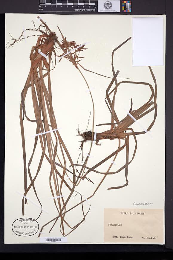 Image of Cyperus brunneus