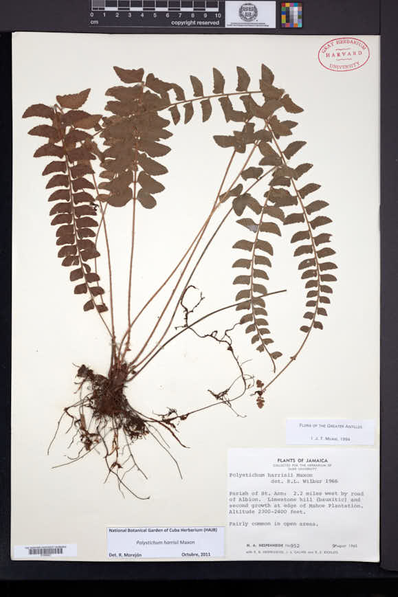 Image of Polystichum harrisii