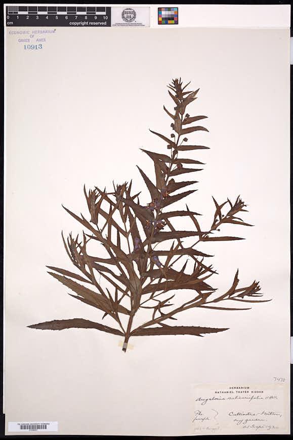 Image of Angelonia salicariifolia