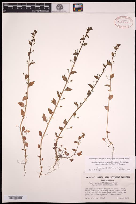 Sairocarpus pusillus image